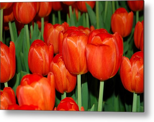 Tulips Metal Print featuring the photograph Red Tulips by Aisha Karen Khan