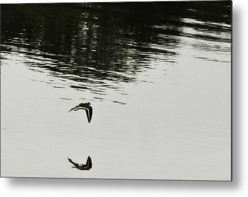 Bird In Flight Over Lake-reflection Metal Print featuring the photograph Reflection Of Flight by Douglas Barnard