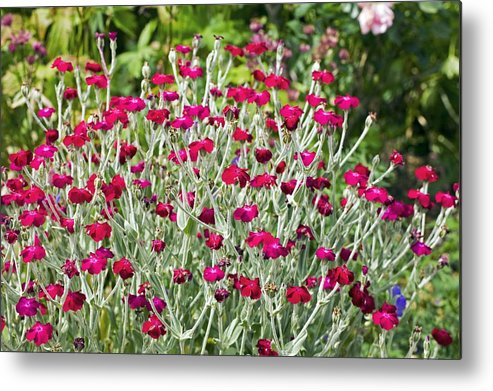 Angiosperms Metal Print featuring the photograph Rose Campion (lychnis Coronaria) by Dr Keith Wheeler