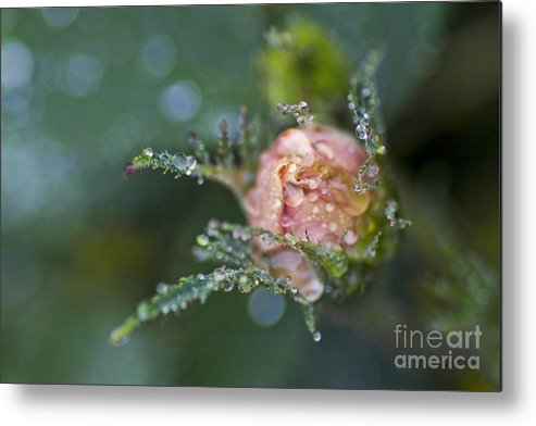 Rose Metal Print featuring the photograph Rose Flower Series 9 by Heiko Koehrer-Wagner