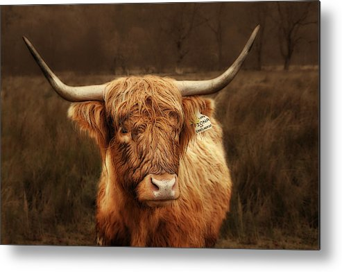 Scotland Metal Print featuring the photograph Scottish Moo Coo - Scottish Highland Cattle by Christine Till