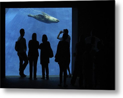 Seal Metal Print featuring the photograph Seal Show by Peter Bone