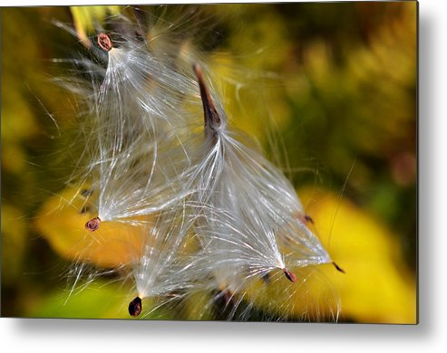 Plant; Weed; Milkweed; Asclepias Syrica; Perennial; Silk; Season; ; Fall; Colorful; Fluffy; Wild; Nature; Seeds; Pod; Group; Many Metal Print featuring the photograph Silky Autumn by Susan Leggett