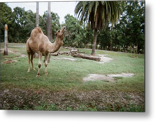 Camel Metal Print featuring the photograph Singing Camel by Val Oconnor