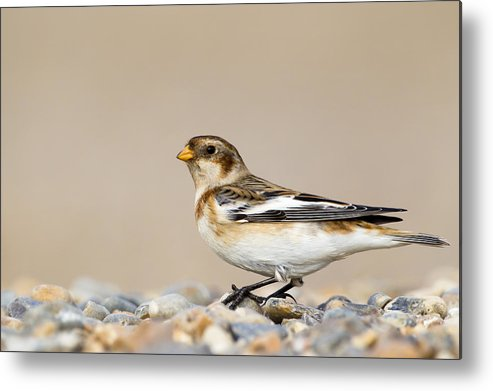 Horizontal Metal Print featuring the photograph Snow Bunting (plectrophenax Nivalis) by Andrew Sproule