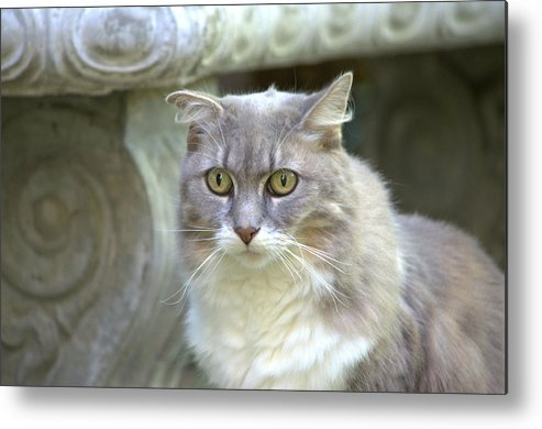 Feline Metal Print featuring the photograph Staring Into The Future by Fraida Gutovich