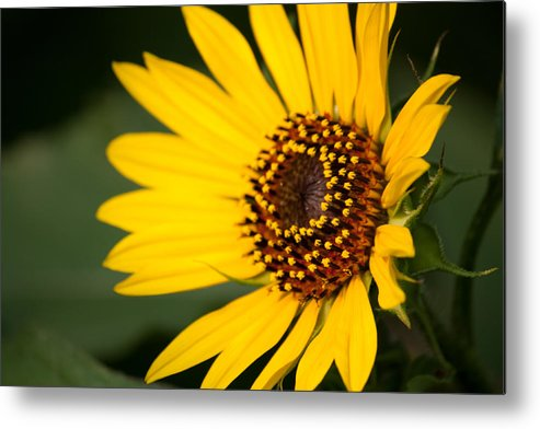 Sunflower Metal Print featuring the photograph Sunflower by Jessica Lowell