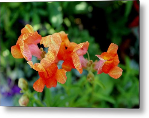 Flowers Metal Print featuring the photograph Suspended Blossoms by Adonis Pointer
