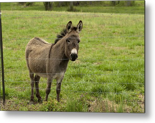 Donkey Metal Print featuring the photograph Sweet Little Donkey by Kathy Clark