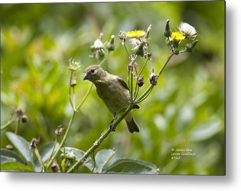 Lesser Goldfinch; Carduelis Psaltria; Cute Bird; Bird; Nature; Wildlife; Dandelion Flower Metal Print featuring the photograph Take A Look - Lesser Goldfinch by James Ahn