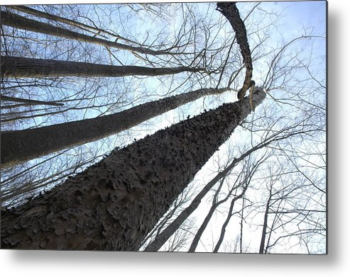 Forest Metal Print featuring the photograph Tall Trees by Darcy Dekker