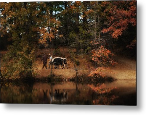 Oxen. Cows Metal Print featuring the photograph The Long Haul Home by Robin-Lee Vieira