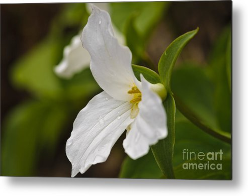 Flower Metal Print featuring the photograph The Trillium by Christine Kapler
