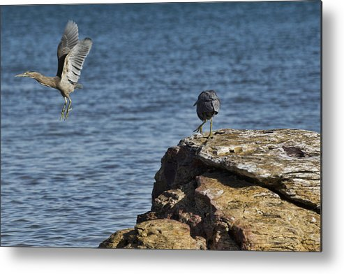 Dark Reef Egret Metal Print featuring the photograph The Winner Takes It All by Douglas Barnard