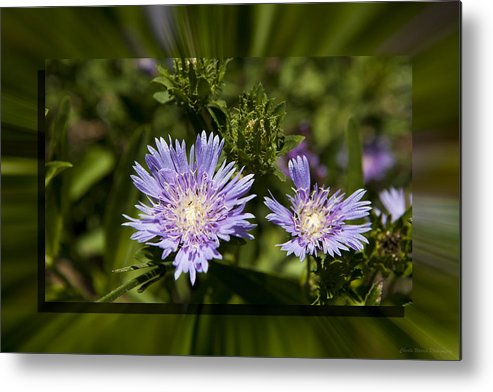 Thistle Metal Print featuring the photograph Thistle 131 by Charles Warren