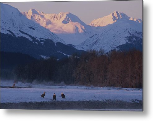 haines Metal Print featuring the photograph Three Northern American Bald Eagles by Norbert Rosing