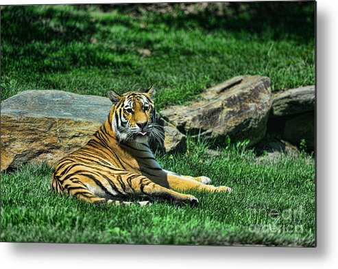 Tiger Metal Print featuring the photograph Tiger - Endangered - Lying Down - Tongue Out by Paul Ward