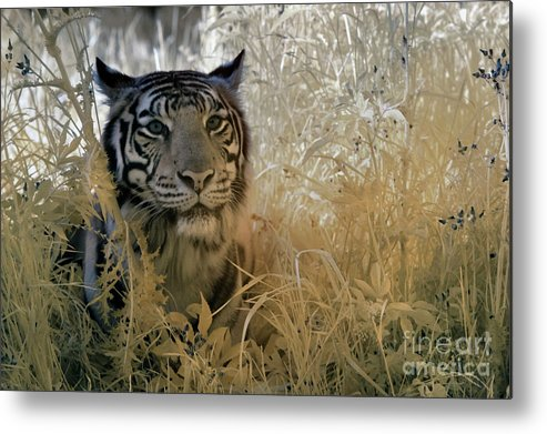 Animal Photography Metal Print featuring the photograph Tiger In Infrared by Keith Kapple