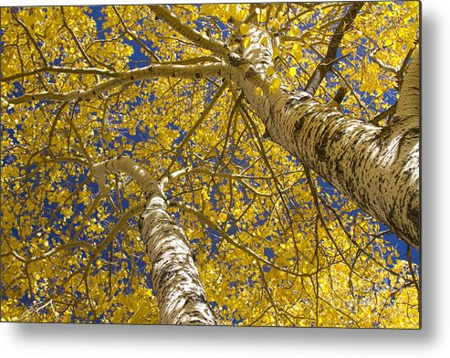 Aspens Metal Print featuring the photograph Towering Autumn Aspens With Deep Blue Sky by James BO Insogna