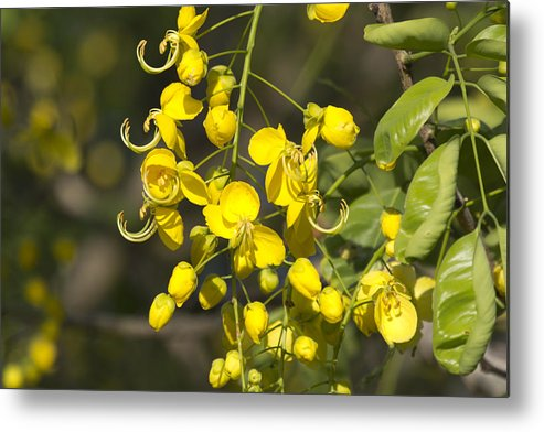 Tropical Yellow Metal Print featuring the photograph Tropical Yellow Flowers by Douglas Barnard