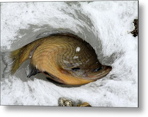 Fish Metal Print featuring the photograph Twisted Fish by Rick Rauzi