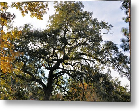 Landscapes Metal Print featuring the photograph Twisted Oak by Jan Amiss Photography