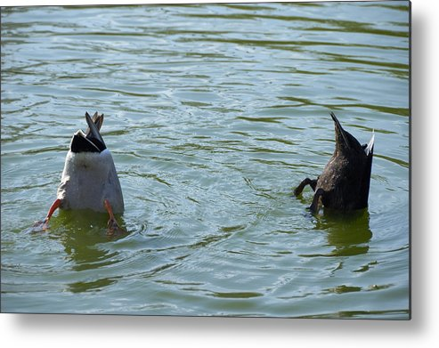 Ducks Metal Print featuring the photograph Two Ducks Diving by Matthias Hauser