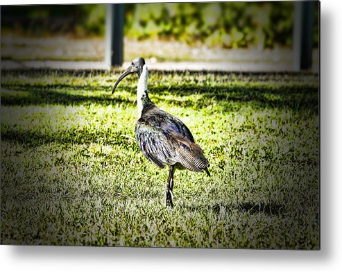 Straw-necked Ibis Metal Print featuring the photograph Uglier Than Most by Douglas Barnard