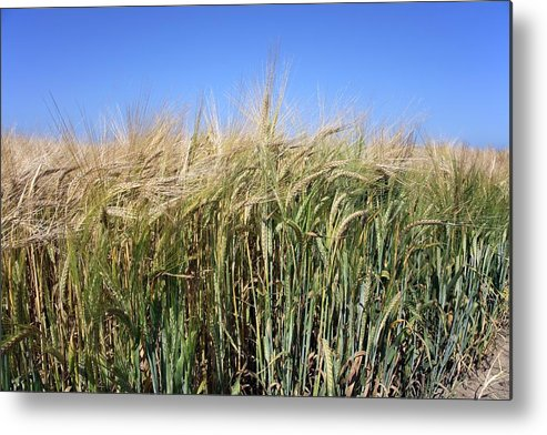 Agricultural Metal Print featuring the photograph Wheat Field (triticum Sp.) by Victor De Schwanberg