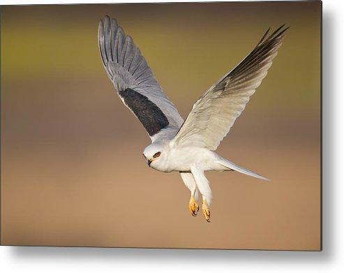 Horizontal Metal Print featuring the photograph White-tailed Kite by Mallardg500