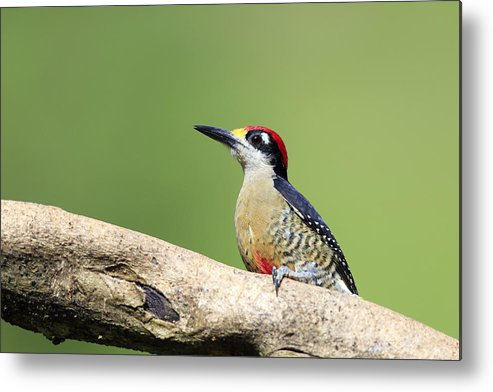 Horizontal Metal Print featuring the photograph Wild Black-cheeked Woodpecker by Mlorenzphotography