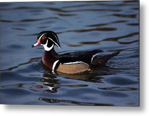 Woody Metal Print featuring the photograph Woody by Skip Willits