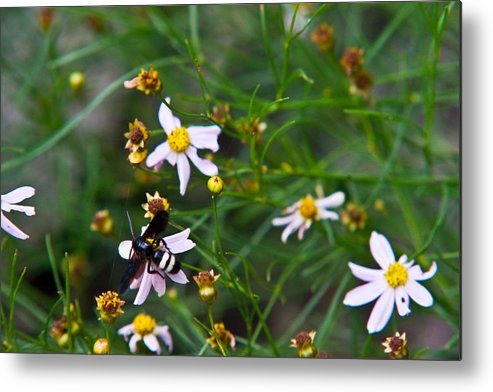 Yellow Metal Print featuring the photograph Yellow Banded Black Fly 1 by Douglas Barnett