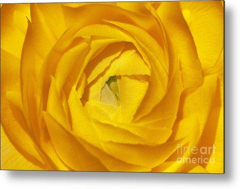 Sandra Bronstein Metal Print featuring the photograph Yellow Beauty by Sandra Bronstein