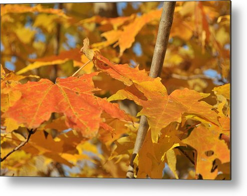 Leaves Metal Print featuring the photograph Yellow Foliage by Michael Jalbert