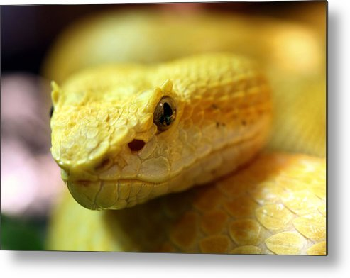 Bothriechis Schlegelii Metal Print featuring the photograph Yellow by JC Findley