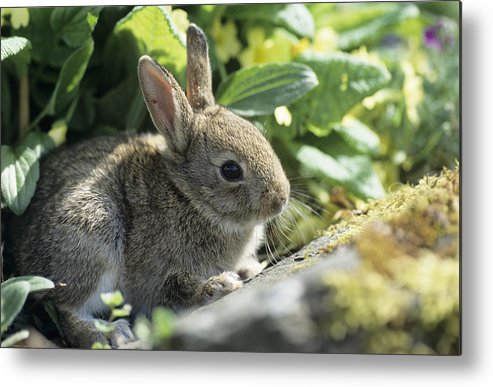 Oryctolagus Cuniculus Metal Print featuring the photograph Young European Rabbit by David Aubrey