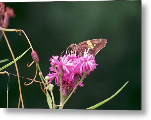 Butterfly Metal Print featuring the photograph 072106-19 by Mike Davis
