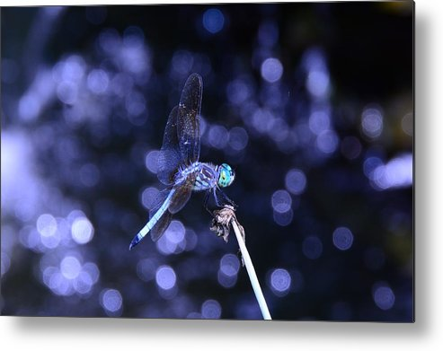 Blue Dasher Dragonfly Metal Print featuring the photograph A Dragonfly by Raymond Salani III