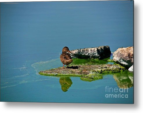 Duck Metal Print featuring the photograph Alone by Robert Pearson