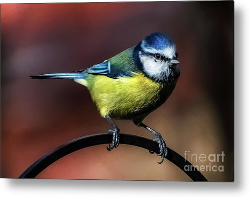 Blue Tit Metal Print featuring the photograph Blue Tit by Adrian Evans