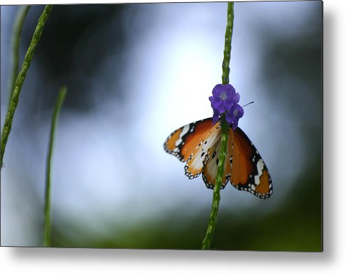 Insect Metal Print featuring the photograph Butterfly by Mark Mah