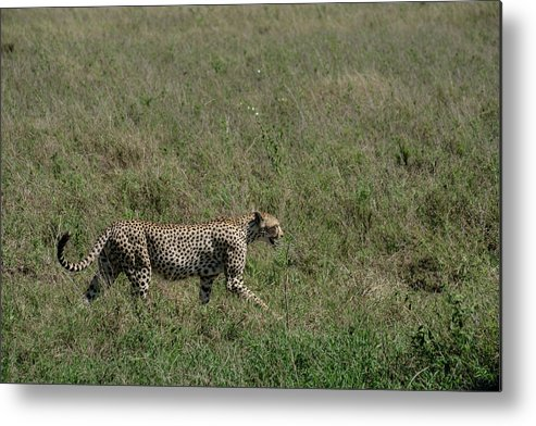 Cheetah Metal Print featuring the photograph Cheetah On The Serengeti by William Morgan