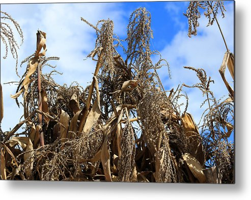 Corn Metal Print featuring the photograph Corn Stalks Drying In The Sun by Robert Hamm