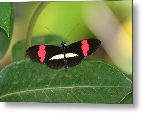 Crimson Metal Print featuring the photograph Crimson Patched Longwing by Jeff VanDyke