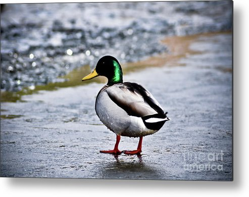 Duck Metal Print featuring the photograph Duck On Ice by Brenton Woodruff