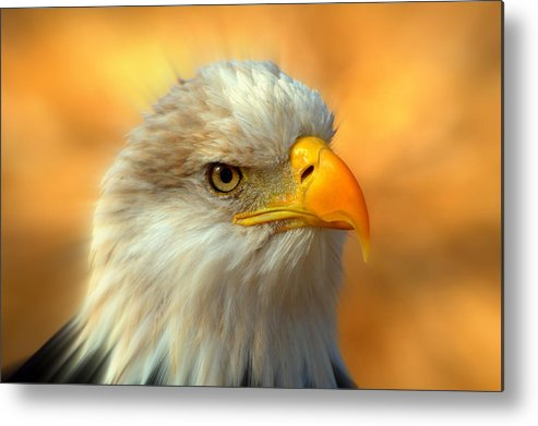 American Bald Eagle Metal Print featuring the photograph Eagle 10 by Marty Koch