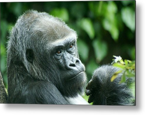 Animal Metal Print featuring the photograph Gorilla Headshot by Sonja Anderson