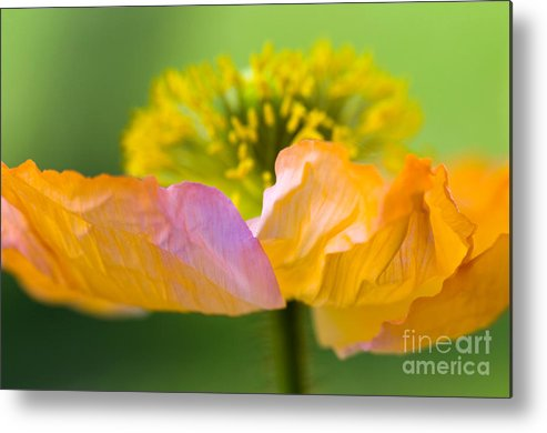 Flower Metal Print featuring the photograph Iceland Poppy by Silke Magino
