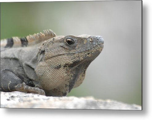 Nature Metal Print featuring the photograph Iguana by Paul Gavin